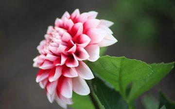 LU Botāniskajā dārzā zied iespaidīgā dāliju kolekcija