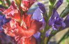 """Dabas muzejā būs skatāma izstāde """"Gladiolu varavīksne – veltījums manai Latvijai"""""""